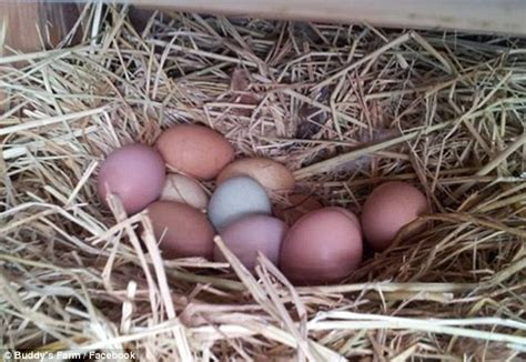 hundreds  hens  lay unique pastel colored eggs