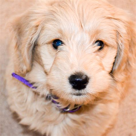 goldendoodle puppy growth goldendoodle growth timberidge goldendoodles