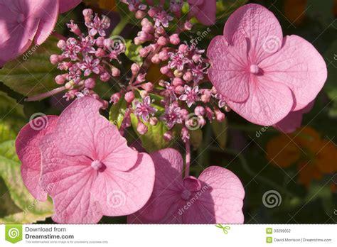 fiori dell fiori dell irlandese di rosa selvaggio fotografia stock