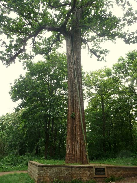 tree in panoramio photo of kannimara teak largest living teak tree