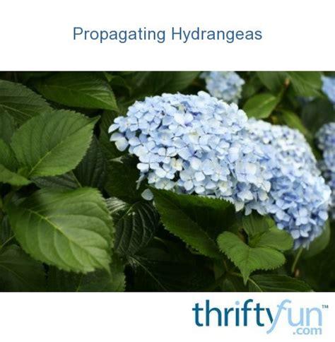 propagating hydrangeas thriftyfun