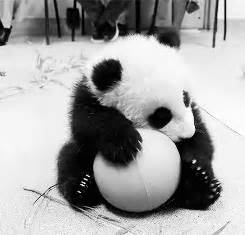 imagenes blanco y negro gif blanco y negro panda gif find share on giphy