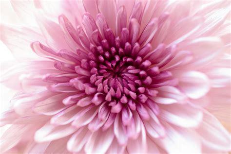 crisantemo fiore dei morti non nel resto mondo