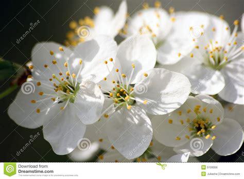foto fiori bianchi fiori bianchi fotografia stock immagine di cielo