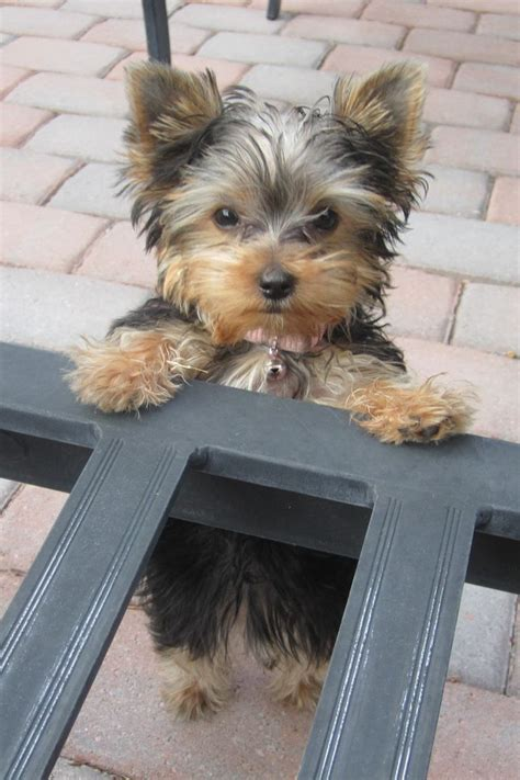 types of yorkie haircuts best 25 yorkie ideas on pinterest yorkshire terrier
