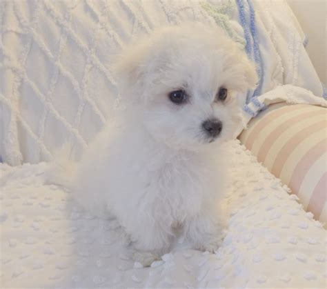 baby maltese puppies baby maltese puppy maltese and lesser breeds
