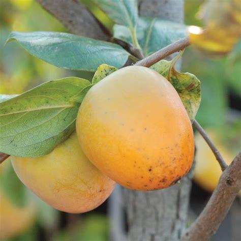 fruit trees in indiana prok american persimmon persimmon trees stark bro s