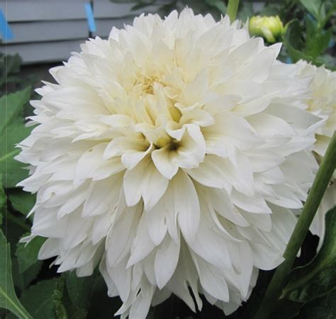 Dahlia White 10 best white dahlia images on dahlias dahlia