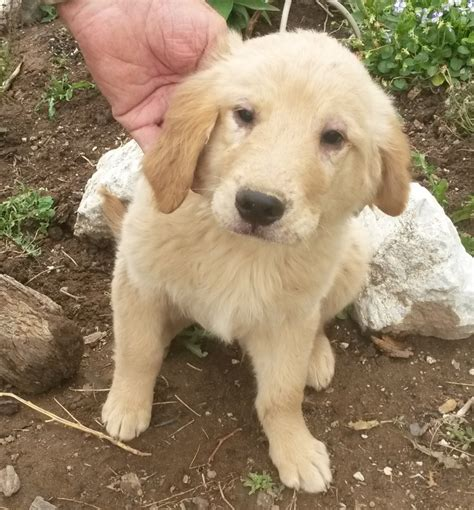 golden retriever puppies for sale in washington state puppies for sale golden retriever including american etc golden