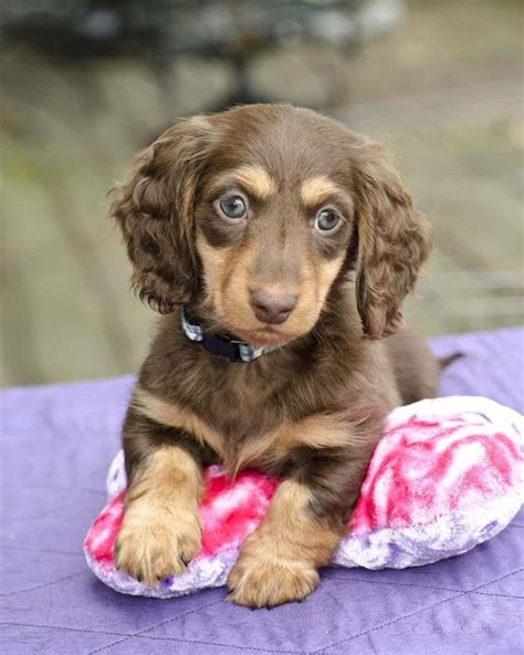 dachshund puppy names dachshund names doxie naming ideas