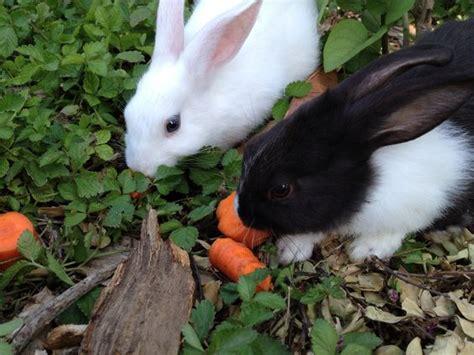 baby bunnies in backyard baby bunnies back yard and yards on pinterest