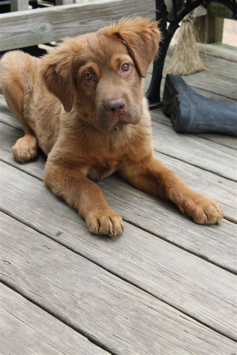 chocolate golden retriever chocolate lab golden retriever mix i want a so bad d aww cas