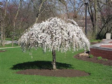 3 cherry tree hayfields prunus snofozam snow 174 snow 174 weeping cherry weeping cherry sun