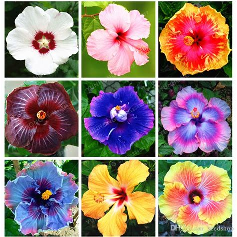 what color is hibiscus 2019 bag mini hibiscus flower seeds hibiscus seed bonsai