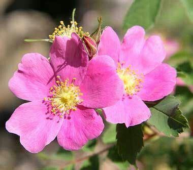 state flower of iowa 17 best images about usa iowa ia on pinterest garden