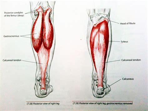 calf diagram calf anatomy human anatomy diagram