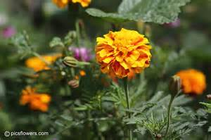 images of flowers marigold flower picture images 394