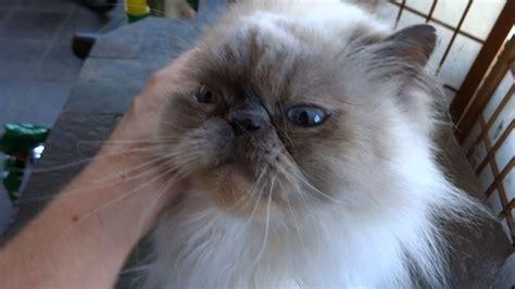 himalayan cats himalayan cats