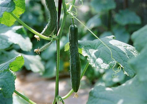 causes of cucumbers infected with bacterial wilt
