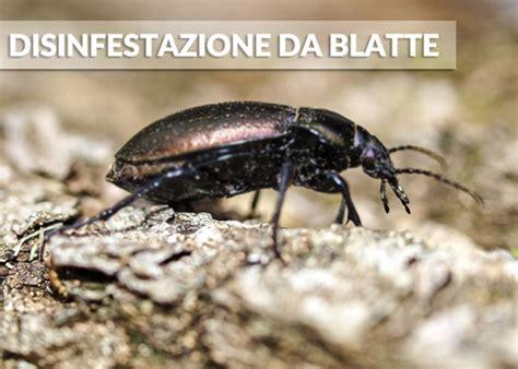 Rimedi Contro Blatte by Rimedi Efficaci Contro Le Blatte In Casa Costok It