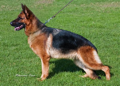 black german shepherd puppies for sale in va puppies for sale wustenberger land