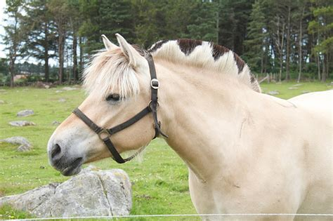 fjord mane designs 9 stylish norwegian fjord haircuts horse nation