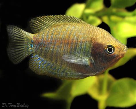 dwarf gourami for sale aquariumfish net