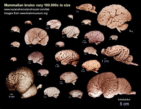 size of brain suzana herculano houzel comparative neuroanatomy