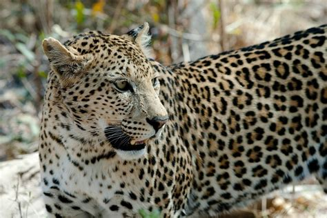 all about jaguars facts leopard facts cool kid facts