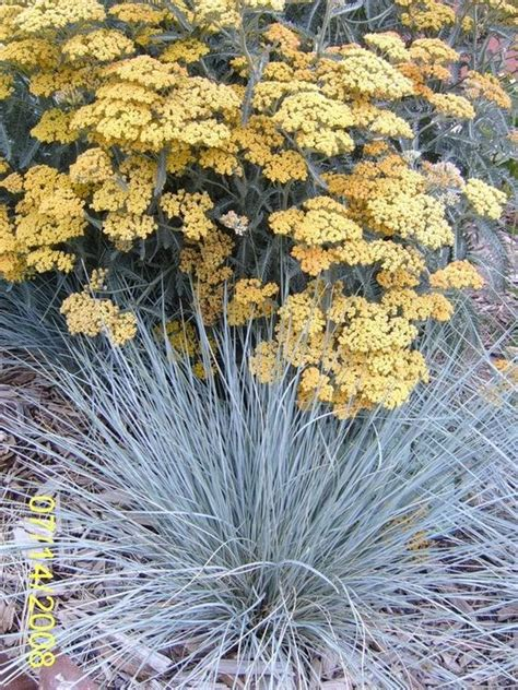 10ml yarrow chamazulene blue achillea achillea terra cotta with blue oat grass xeriscape