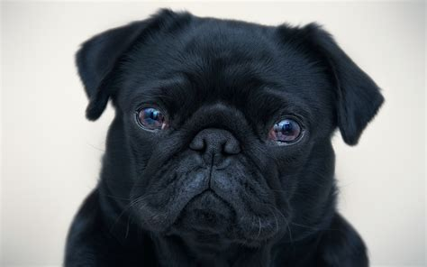 pug negro black pug desktop background hd 1920x1200 deskbg