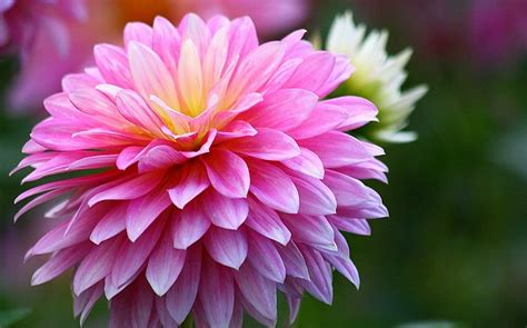 beautiful dahlia flowers xcitefunnet