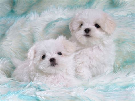 cute white funny animals zone cute white puppies new pictures 2012