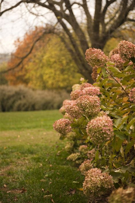 hydrangea care pruning blooming tips southern living