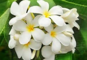 fiore bianco molto profumato elenco dei fiori pi 249 profumati mondo