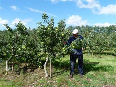 size fruit trees for sale pruning suffolk fruit and trees the fruit tree specialists