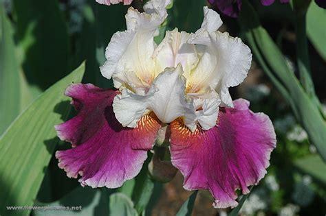floral pictures iris flower gardens