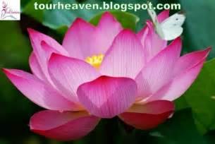 Lotus Flower National Symbol India National Symbols 7 National Flower Quot Lotus Quot World