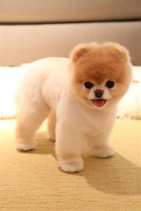 Pomeranian Hairstyles by 25 Pomeranian Haircuts For Hairstylec