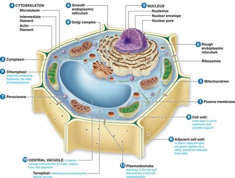 plant cell labeled diagram plant cell diagram animal cell plant cell