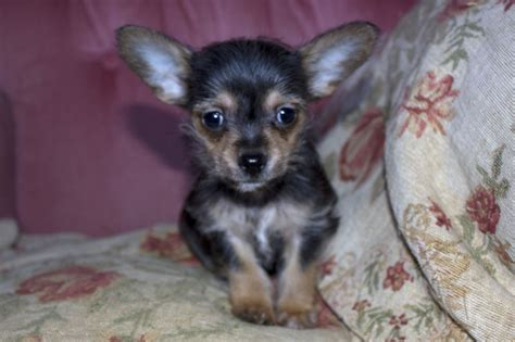 yorkie and chihuahua puppies two chihuahua x terrier puppies for sale whitstable kent pets4homes