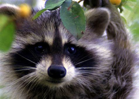 raccoon house pets california outdoors q and a