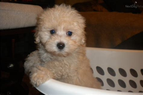 maltipoo puppies for sale maltipoo puppies on maltipoo puppies for sale and maltipoo breeders breeds picture