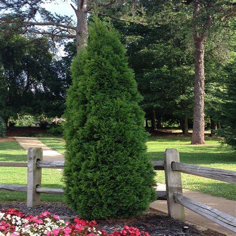 onlineplantcenter 1 5 gal wee willie boxwood shrub