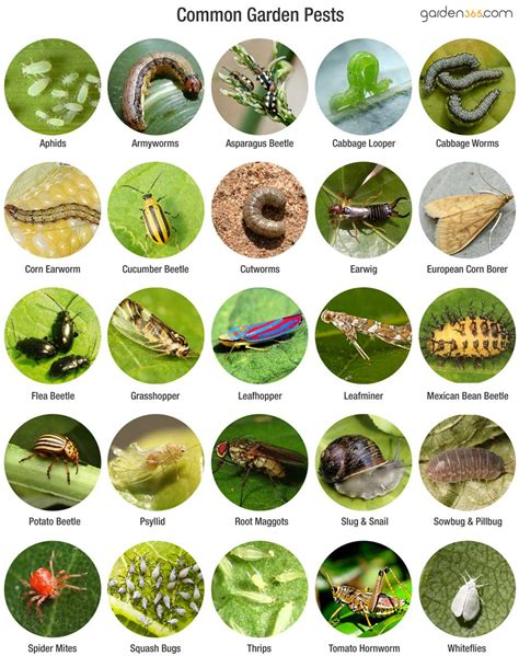 vegetable garden pests garden insect identification pictures to pin on