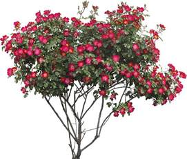 Rose Topiary Trees - bushes png images free download bush png