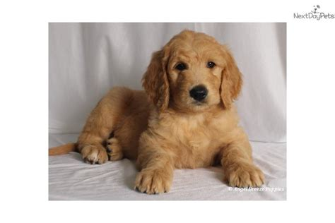 goldendoodle puppy kentucky goldendoodle puppy for sale near kentucky