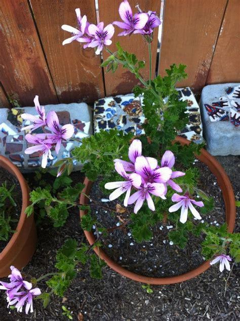 best scented geranium indoors 96 best images about duft pelargonium on