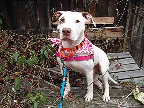 adoption pittsburgh found in pittsburgh pa now adoptable petharbor animal shelter