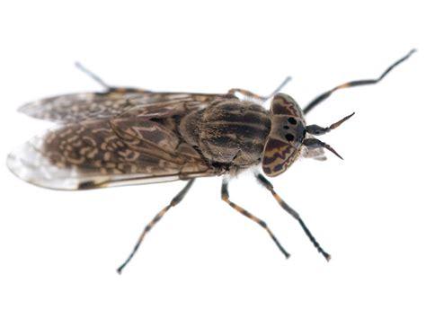 stechende insekten im bett stechende insekten wadenstecher stechende fliege